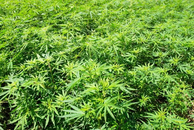 NASA'S Kepler satellite has discovered a new planet covered with marijuana Marijuana-field